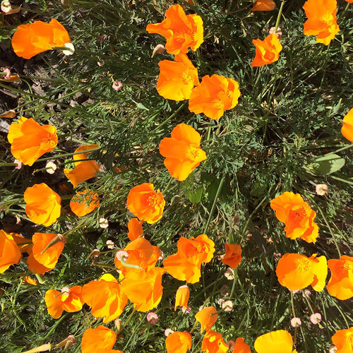 Photo - Woodland Estates California Poppies