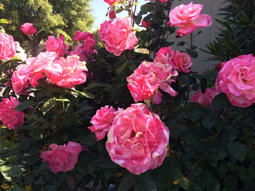 Photo - Woodland Estates Rose Garden